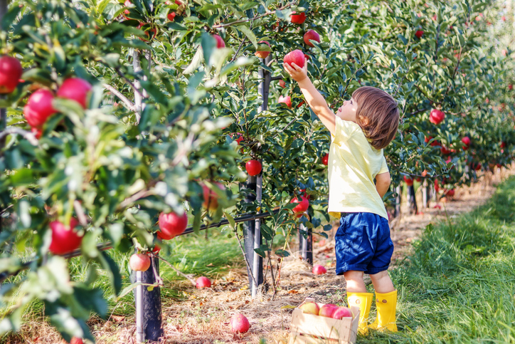 Young boy picking apple in  an orchard.